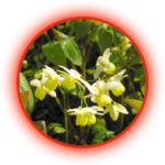 Bahan titan gel Epimedium sagittatus
